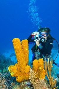 Diver photographing a large formation of yellow tube sponges (Aplysina fistularis) growing on a coral reef, North Wall, Grand Cayman, Cayman Islands, British West Indies, Caribbean Sea. Model released...  -  Alex Mustard