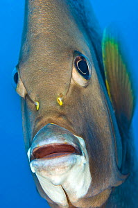 Grey angelfish (Pomacanthus arcuatus) head portrait, Georgetown, Grand Cayman, Cayman Islands, British West Indies, Caribbean Sea. - Alex Mustard