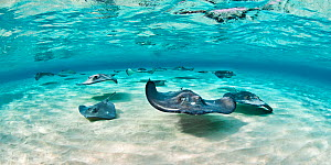 Southern stingray (Hypanus americanus) school swimming in clear shallow water over sand ripples, Grand Cayman, Cayman Islands. British West Indies.  -  Alex Mustard