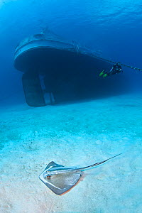 Southern stingray (Hypanus americanus) swimming over sand by the stern of the USS Kittiwake (US Military submarine rescue vessel) with diver in background. Photograph was taken shortly after the wreck...  -  Alex Mustard