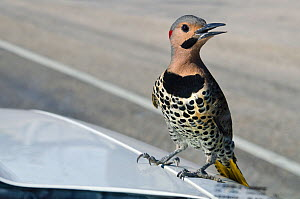 Northern flicker (Colaptes auratus) male perched on the bonnet of a truck displaying to his reflection in the windscreen, East End, Grand Cayman, Cayman Islands, British West Indies, Caribbean Sea. - Alex Mustard
