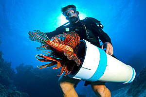 Diver catching a Lionfish (Pterois volitans) in collection tube. The Indo-Pacific lionfish are an invasive species on Caribbean reefs and free from natural predators thrive at much higher population d...  -  Alex Mustard