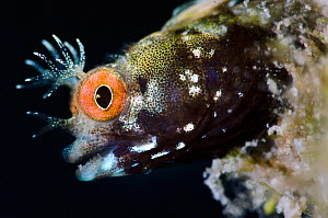 Roughhead blenny (Acanthemblemaria aspera) male portrait. This species is very small, just 20mm long and 1-2mm deep, East End, Grand Cayman, Cayman Islands, British West Indies, Caribbean Sea. - Alex Mustard