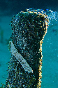 Donkey dung sea cucumber (Holothuria mexicana) lifting its head up from the sand to spawn in late afternoon, East End, Grand Cayman, Cayman Islands, British West Indies, Caribbean Sea.  -  Alex Mustard