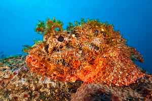 Spotted scorpionfish (Scorpaena plumieri) waits to ambush prey on top of a boulder on a coral reef, East End, Grand Cayman, Cayman Islands, British West Indies, Caribbean Sea.  -  Alex Mustard