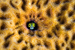 RF- Secretary blenny (Acanthemblemaria maria) peering from hole in massive Starlet coral (Siderastrea siderea). East End, Grand Cayman, Cayman Islands, British West Indies, Caribbean Sea. (This image... - Alex Mustard