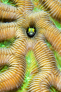 Secretary blenny (Acanthemblemaria maria) peering out of a boulder brain coral (Colpophyllia natans) East End, Grand Cayman, Cayman Islands, British West Indies, Caribbean Sea.  -  Alex Mustard