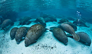Florida manatee (Trichechus manatus latirostris) group gathered in large numbers in Three Sisters Spring for the night, Crystal River, Florida, USA. - Alex Mustard