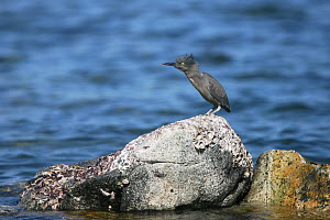 Striated green heron (Butorides striatus) perched on rock with head feathers blowing in the wind, Oman, March.  -  Hanne & Jens Eriksen