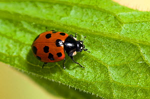 11 Spot Ladybird (Coccinella 11-punctata), an uncommon ladybird usually found in coastal dunes. London, England, July. - Andy Sands