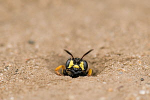 Digger Wasp (Cerceris arenaria) emerging from burrow where it stores insects, paralysed to feed the wasp's larvae. London, England, UK, July.  -  Andy Sands