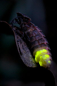 Glow Worm (Lampyris noctiluca) female glowing after dark. Hertfordshire, England, Uk, July. - Andy Sands