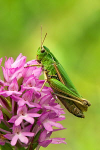 Meadow / Short-horned Grasshopper (Chorthippus parallelus) sitting on pyramidal orchid (Anacamptis pyramadials) Bedfordshire, England, UK, July. - Andy Sands