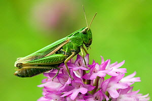 Meadow / Short Horned Grasshopper (Chorthippus parallelus) on pyramidal orchid (Anacamptis pyramadials). Bedfordshire, England, UK, July. - Andy Sands