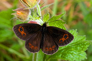 Scotch Argus Butterfly (Erebia aethiops) resting with wings open. Scotland, UK, June.  -  Andy Sands
