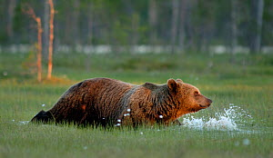 Brown bear (Ursus arctos) walking through wet area, Finland, June - Orsolya Haarberg
