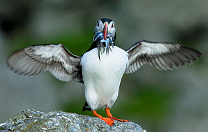 Atlantic puffin (Fratercula arctica) with fish in its beak, wings spread, Rost Archipelago, Lofoten, Nordland, Norway, July - Orsolya Haarberg