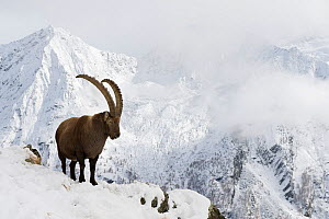 Alpine ibex (Capra ibex) in alpine landscape with light mist, Gran Paradiso National Park, Italy, October - Orsolya Haarberg