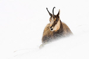 Chamois (Rupicapra rupicapra) in snow, Gran Paradiso National Park, Italy, November - Orsolya Haarberg