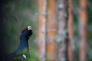 Male Capercaillie (Tetrao urogallus) displaying, Bergslagen, Sweden, April - Orsolya Haarberg
