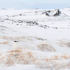 Two Rock ptarmigans (Lagopus muta) in winter plumage sitting in snow, Leirhnjukur, with volcanic crater in the background, Iceland, March  -  Orsolya Haarberg