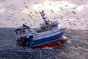 Fishing vessel 'Harvester' winching her catch onboard amid a group of hungry seabirds. North Sea, Europe, December 2011. Property released. - Philip Stephen