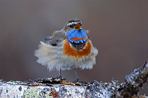 Male Bluethroat (Luscinia svecica) singing on a birch tree with feathers blowing in wind, Vauldalen, Sor-Trondelag, Norway, May  -  Erlend Haarberg