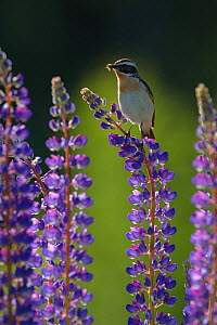 Whinchat (Saxicola rubetra) with food in beak on flowering garden Lupin (Lupinus sp) Telemark, Norway, June  -  Erlend Haarberg