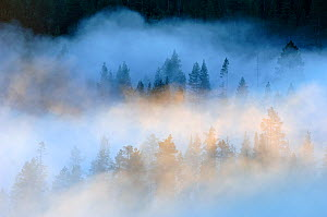 Mist over a Scots pine (Pinus sylvestris) / Norway spruce (Picea abies) forest at sunrise, near Yli-Kitka lake and Tolva village, Finland, July 2006  -  Erlend Haarberg