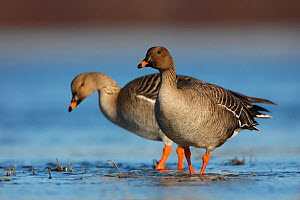 Two Bean geese (Anser fabalis) in shallow water, Finnmark, Norway, May  -  Erlend Haarberg