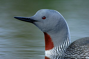 Red-throated diver (Gavia stellata) portrait, Varanger, Finnmark, Norway, June  -  Erlend Haarberg