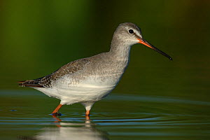 Spotted redshank (Tringa erythropus) walking through water, autumn plumage, Pusztaszeri Landscape Protected Area, Hungary, September - Erlend Haarberg