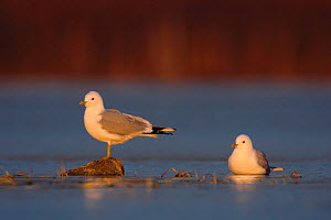 Two Common / Mew gulls (Larus canus) one standing on rock, the other sitting, Ovre-Pasvik National Park, Finnmark, Norway, May  -  Erlend Haarberg