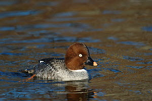 Female Goldeneye (Bucephala clangula) on water, Trondheim, Norway, March - Erlend Haarberg