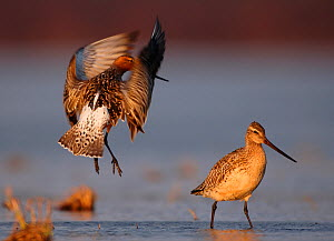 Bar-tailed godwit (Limosa lapponica) courtship display, Finnmark, Norway, May  -  Erlend Haarberg