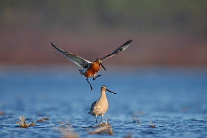Bar-tailed godwit (Limosa lapponica) courtship display, male in flight, Finnmark, Norway, May  -  Erlend Haarberg