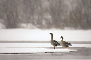 Two Bean geese (Anser fabalis) standing on snow at waters edge, Finnmark, Norway, May  -  Erlend Haarberg