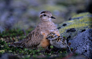 Male Eurasian dotterel (Charadrius morinellus) with chick, Norway, June - Erlend Haarberg