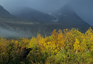 Male European elk / Moose (Alces alces) in undergrowth, Sarek National Park, Sweden, September  -  Erlend Haarberg