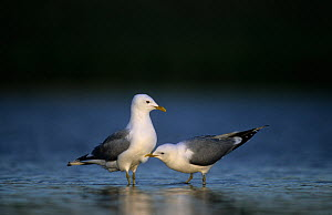 Two Mew / Common gulls (Larus canus) one pecking other, Finnmark, Norway, May  -  Erlend Haarberg