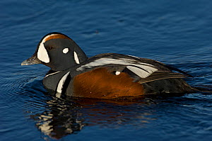 Male Harlequin duck (Histrionicus histrionicus) on water, Iceland, May  -  Erlend Haarberg