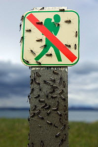 Midges (Chironomus islandicus) on a 'No Walking' sign, Myvatn, Iceland, May  -  Erlend Haarberg
