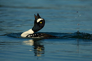 Male Barrow's goldeneye (Bucephala islandica) on water displaying, Iceland, June - Erlend Haarberg