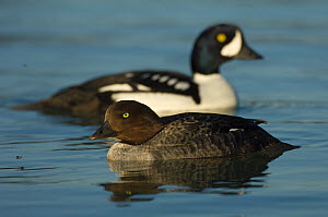 Female Barrow's goldeneye (Bucephala islandica) with male behind, Iceland, June - Erlend Haarberg