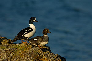 Barrow's goldeneye (Bucephala islandica) pair on rock, Iceland, June - Erlend Haarberg