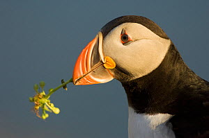 Atlantic puffin (Fratercula arctica) with plant in beak, Iceland, July  -  Erlend Haarberg