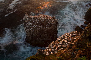 Northern gannet (Morus bassanus) colony on a sea stack and seabird cliff, Langanes peninsula, Iceland, July  -  Erlend Haarberg