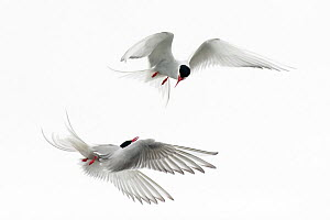Two Arctic terns (Sterna paradisaea) in flight fighting, Iceland, August  -  Erlend Haarberg