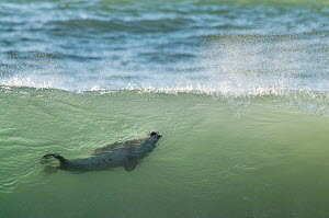 Common / Harbour seal (Phoca vitulina) swimming in wave, Iceland, August  -  Erlend Haarberg