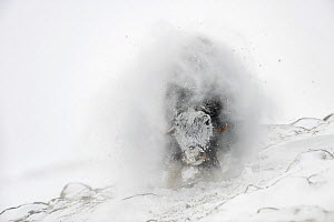 Muskox (Ovibos moschatus) shaking off snow after snowstorm, Dovrefjell-Sunndalsfjella National Park, Norway, March - Erlend Haarberg